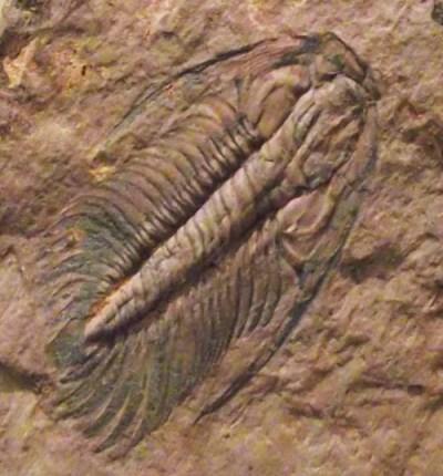 trilobites6